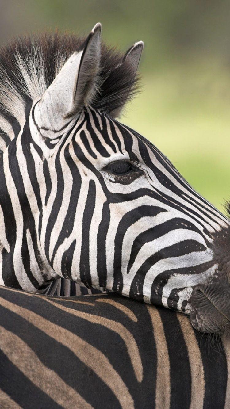Zebra Iphone Wallpapers On Wallpaperdog