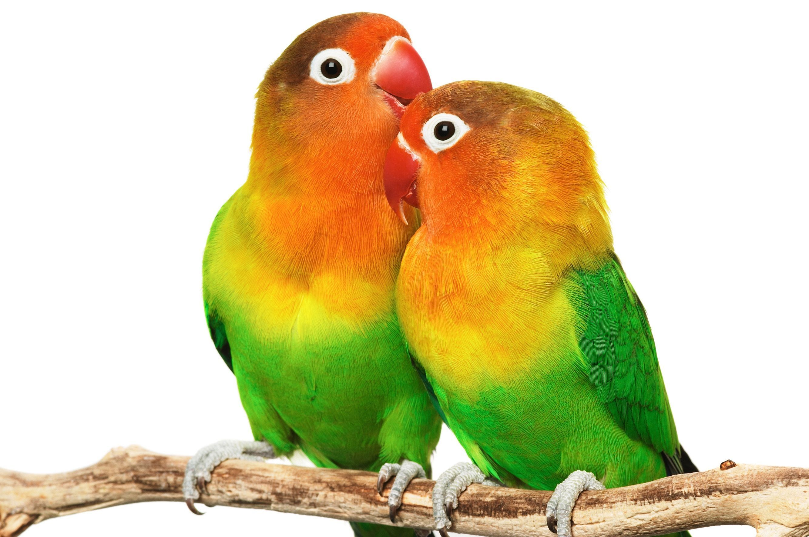 Love Birds Wallpapers On Wallpaperdog