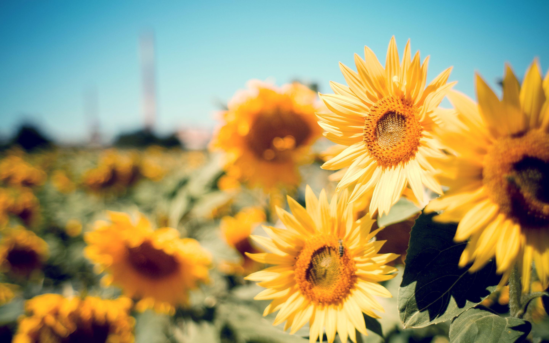 Sunflower HD Wallpapers on WallpaperDog