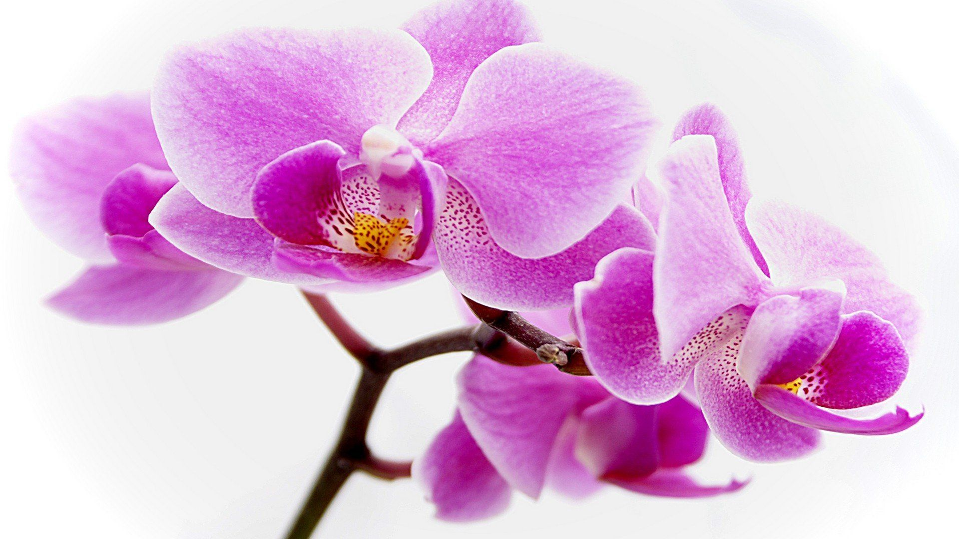 purple orchid wallpapers on wallpaperdog