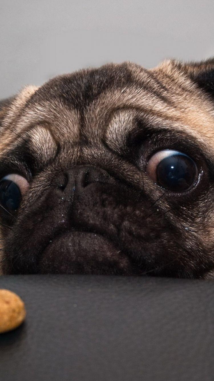 Pug Iphone Wallpapers On Wallpaperdog
