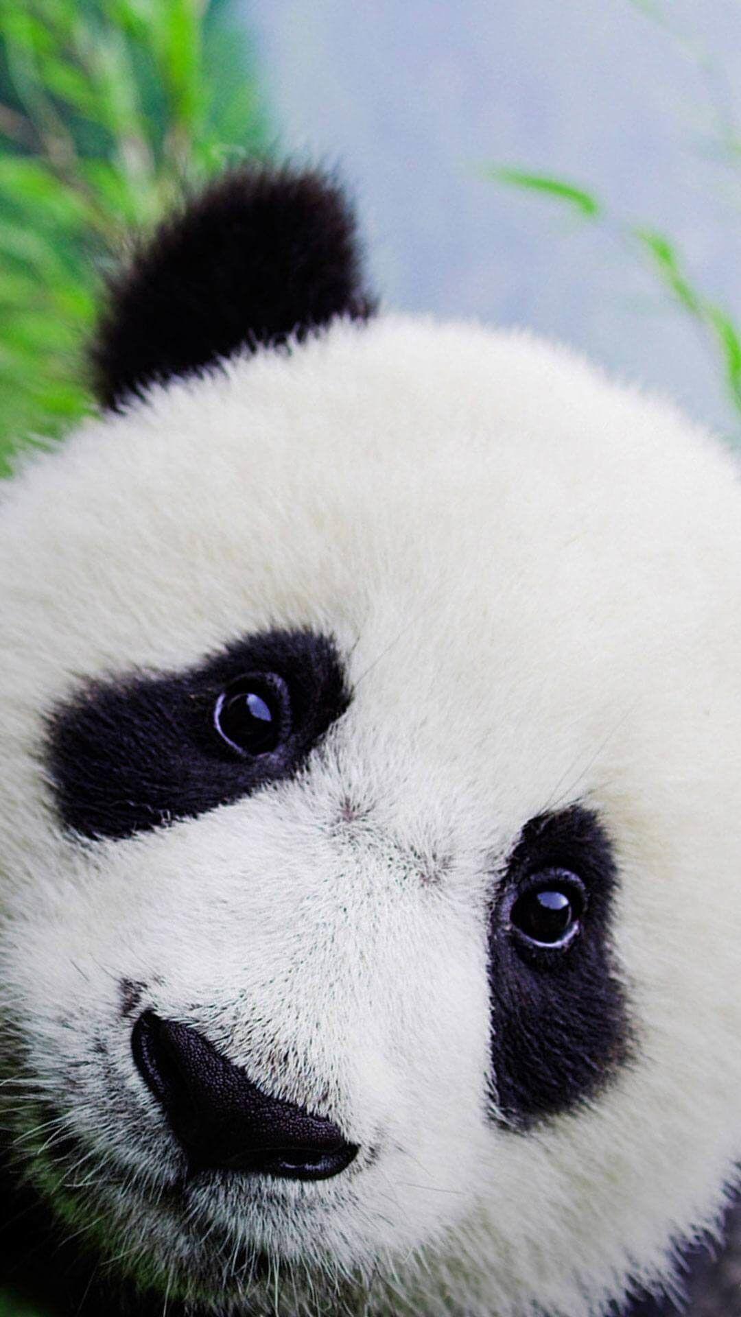 Baby Panda Wallpaper Hd Iphone