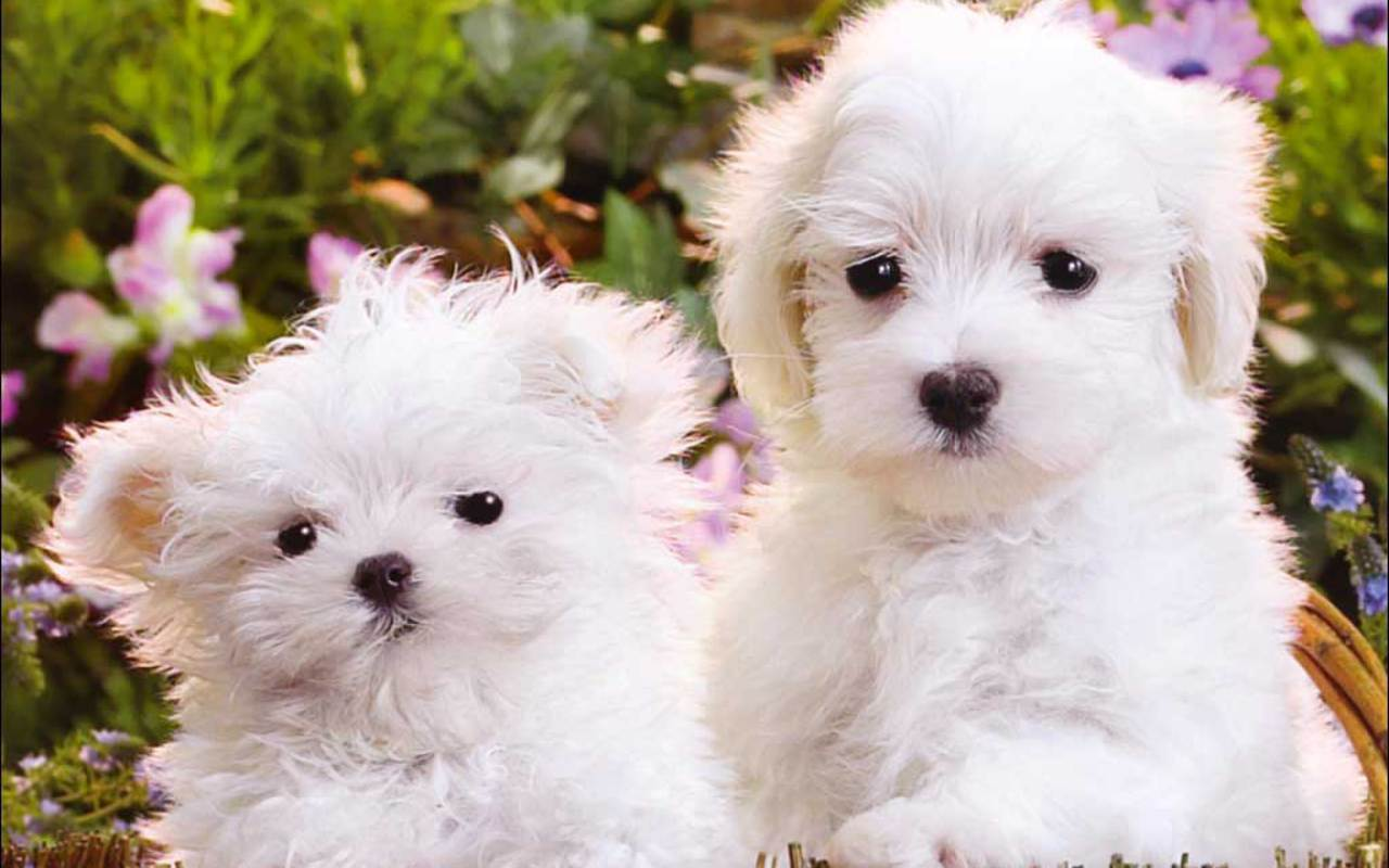 Very Cute White Puppy Wallpapers On Wallpaperdog