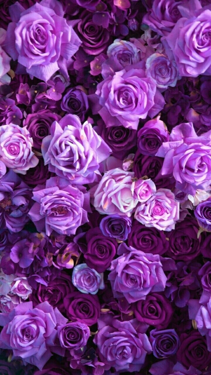 Purple Rose Aesthetic Wallpapers On Wallpaperdog