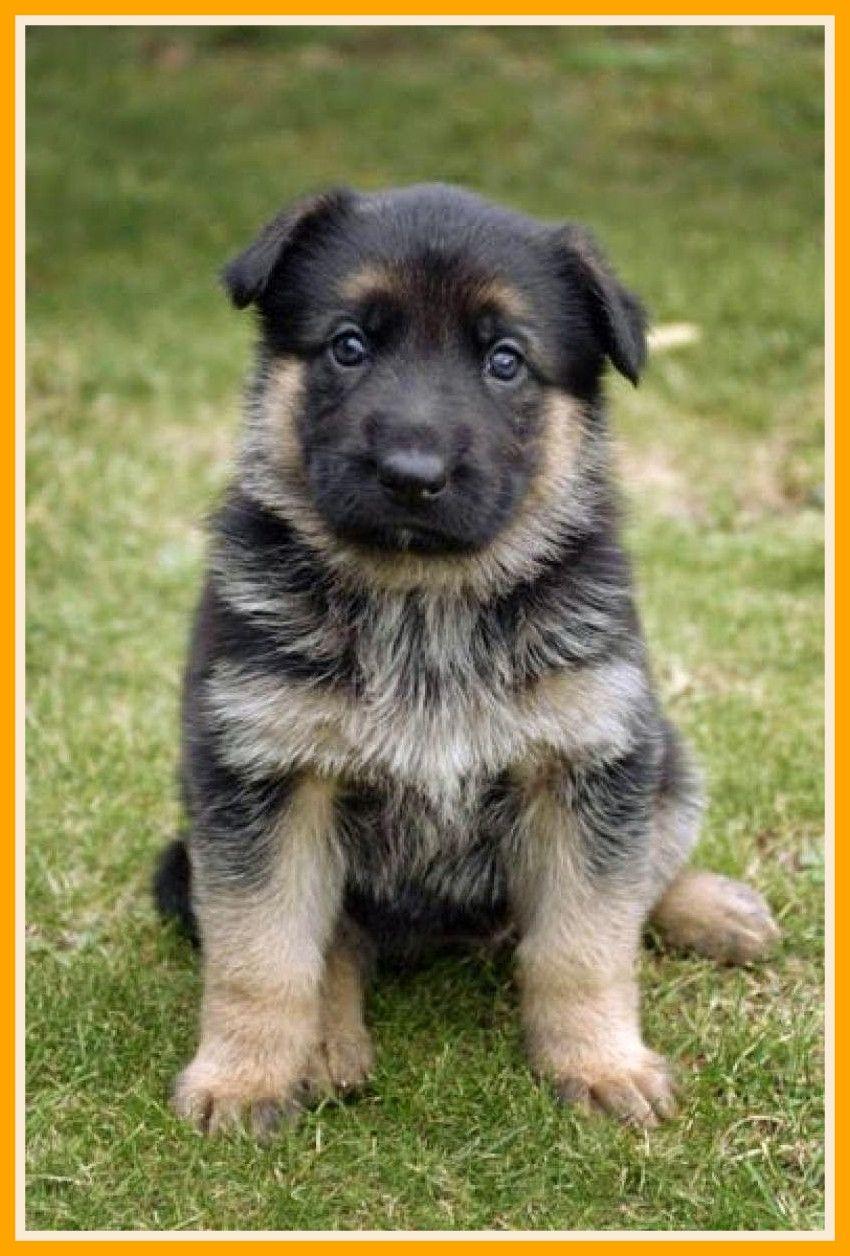 German Shepherd Puppies Wallpapers On Wallpaperdog