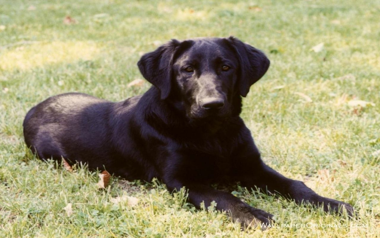 Cute Black Lab Puppies Wallpapers On Wallpaperdog