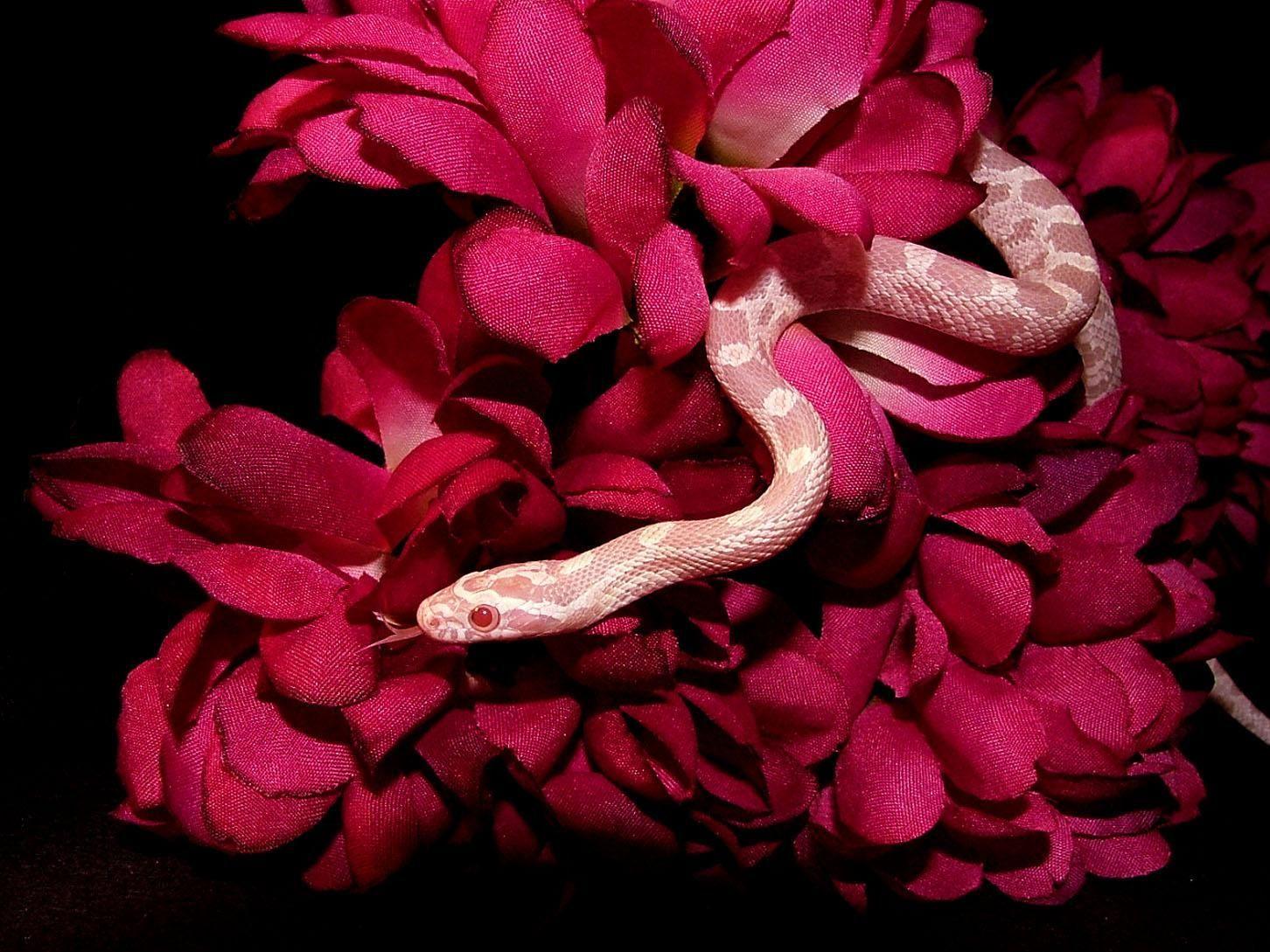 Red Snake Aesthetics Wallpapers On Wallpaperdog