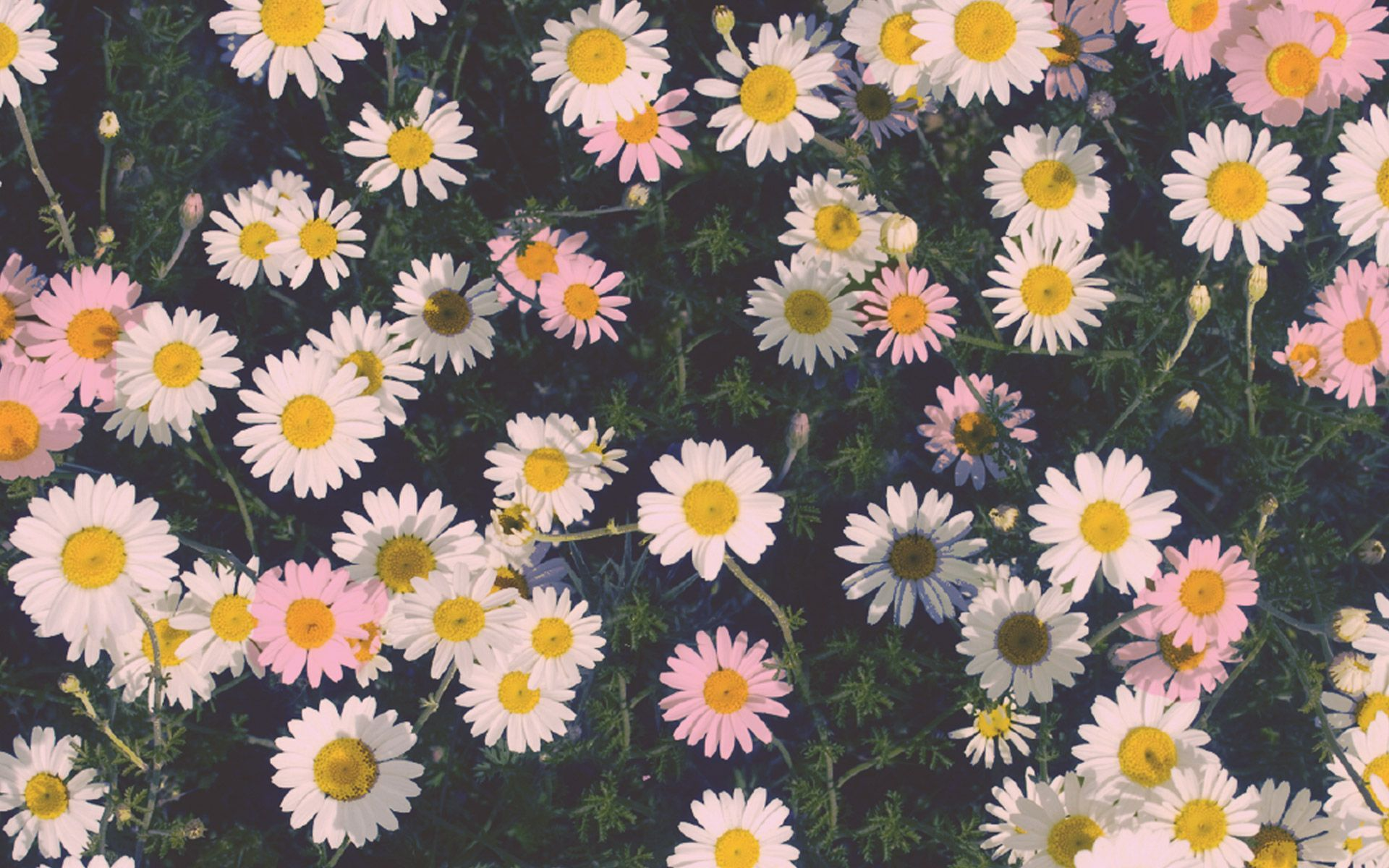 Daisy Aesthetic Wallpapers on WallpaperDog