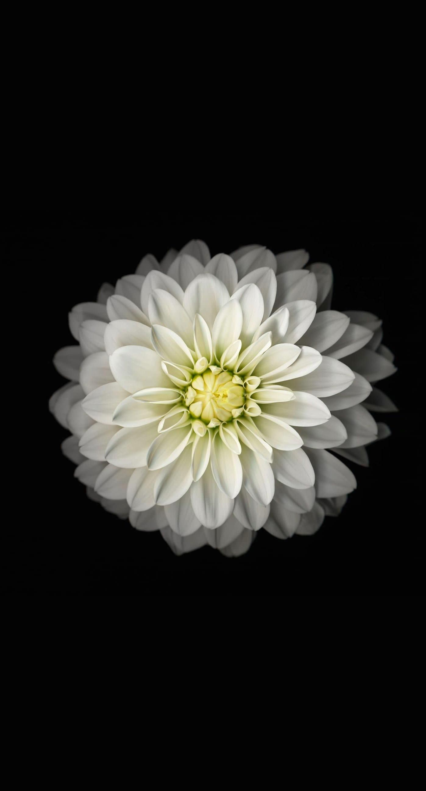 White Flower iPhone Wallpapers on WallpaperDog