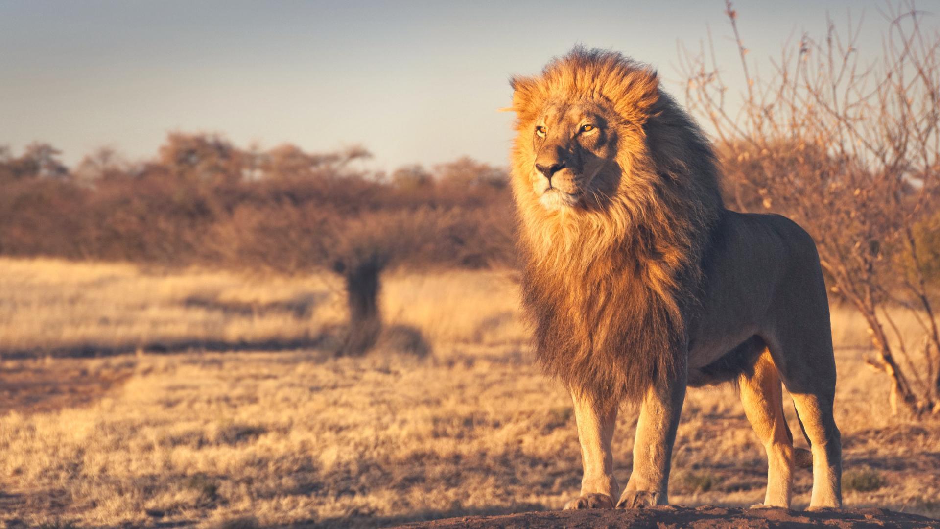 Beautiful Background Hd 1080p Lion Wallpaper Photos