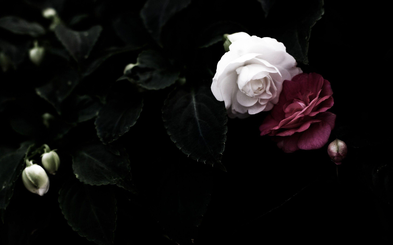 Dark Roses Aesthetic Wallpapers On Wallpaperdog