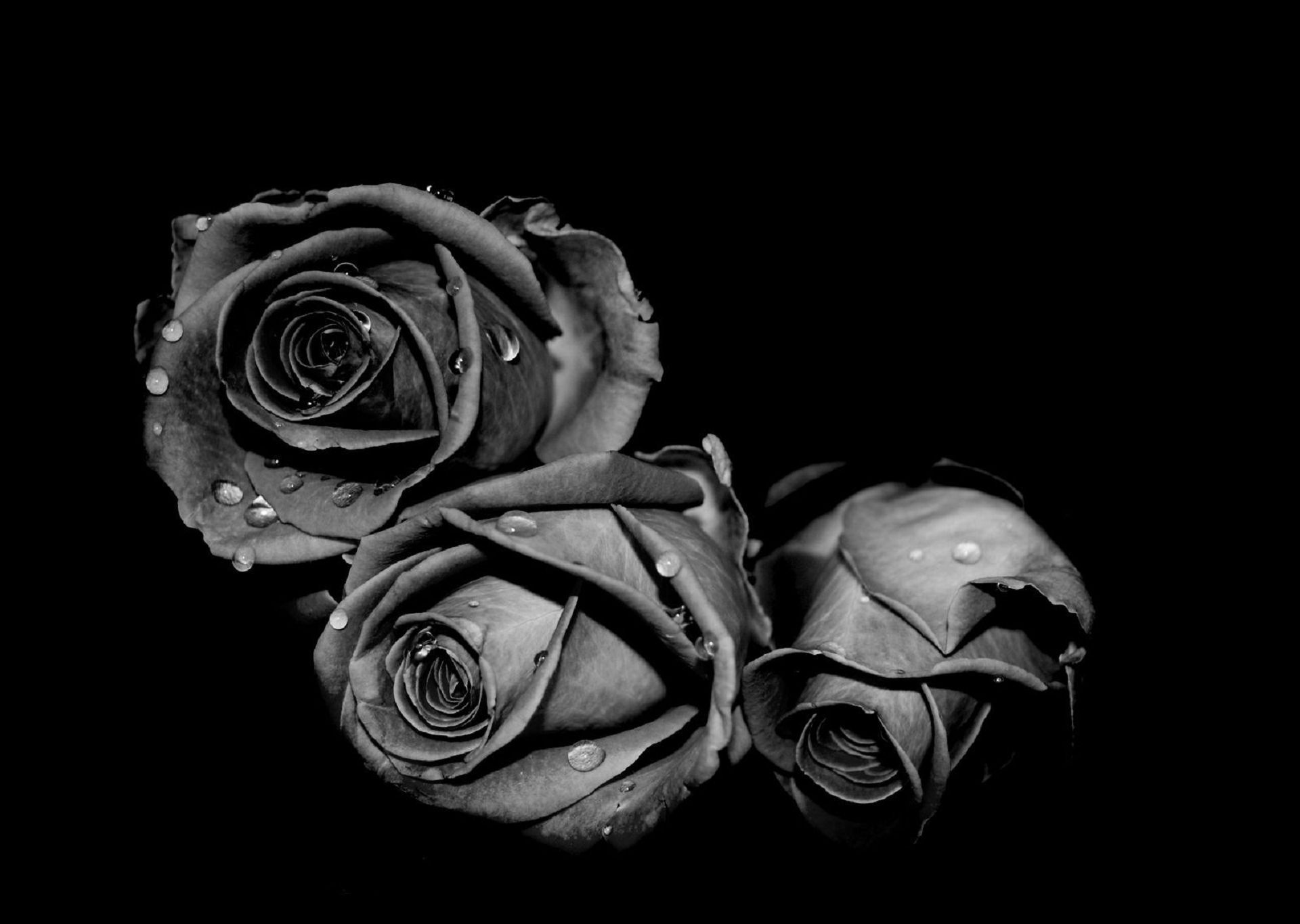Black Rose Aesthetic Wallpapers on WallpaperDog