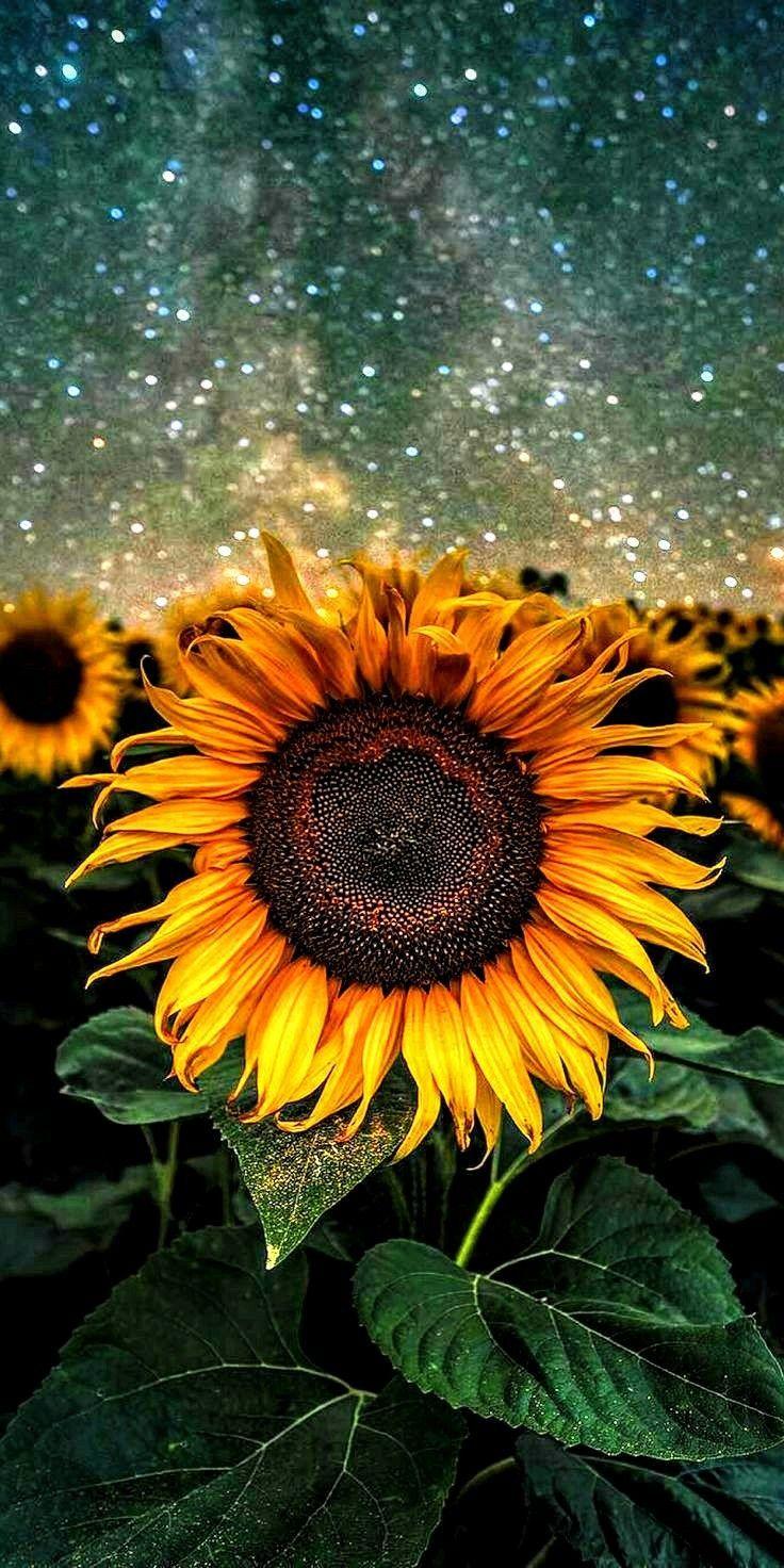 Sunflower Aesthetic Wallpapers On Wallpaperdog