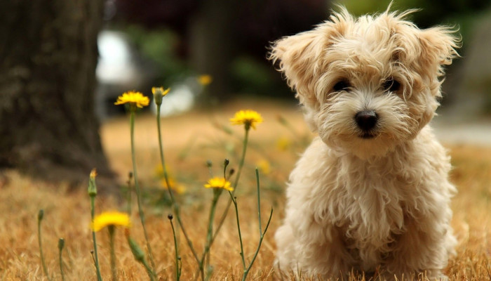 Puppy PC Wallpaper